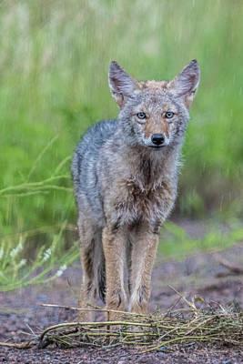 Coyote In The Rain Art Print