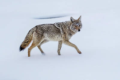 Photograph - Coyote In The Snow - Yellowstone by Stuart Litoff