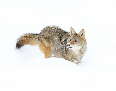 Photograph - Coyote In White by Steve McKinzie