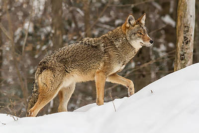 Photograph - Coyote In Winter by Josef Pittner