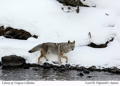 Photograph - Coyote In Yellowstone National Park by Carol M Highsmith