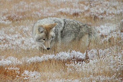 Photograph - Coyote  In Yellowstone by Pierre Leclerc Photography