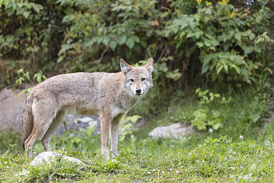 Photograph - Coyote by Josef Pittner