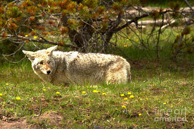 Photograph - Coyote Looking Back by Adam Jewell