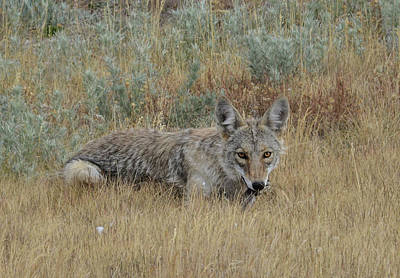 Photograph - Coyote Of  September by Rae Ann  M Garrett