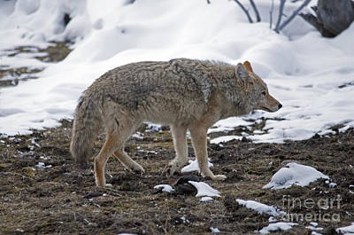Photograph - Coyote On The Hunt by Cindy Murphy - NightVisions