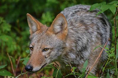 Coyote On The Hunt Art Print