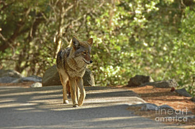 Photograph - Coyote On The Path by Debby Pueschel