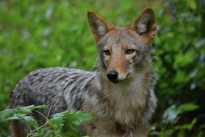 Photograph - Coyote On The Prowl  by Jesse MacDonald