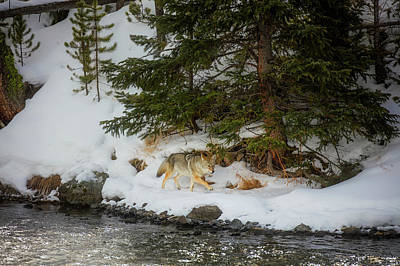 Photograph - Coyote On The Prowl by L O C