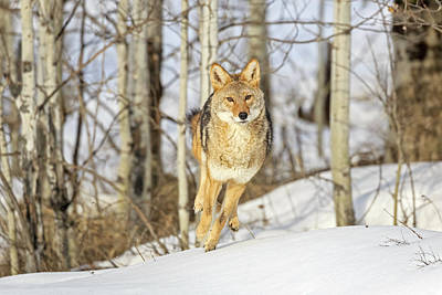 Photograph - Coyote On The Run by Jack Bell