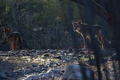 Photograph - Coyote Patrol by Dan McManus