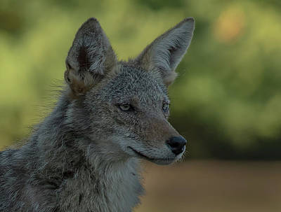 Photograph - Coyote Portrait by David March