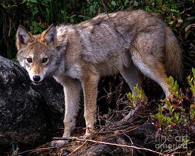 Photograph - Coyote Portrait by Jane Axman