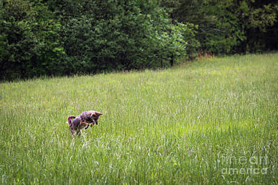 Photograph - Coyote Pounce by Andrea Silies