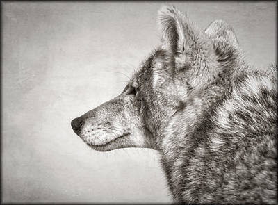 Photograph - Coyote Profile by Elaine Malott