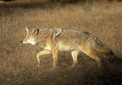 Photograph - Coyote Prowling by John Burk