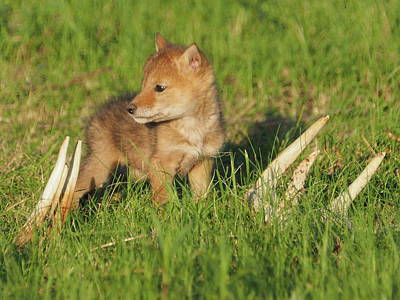 Photograph - Coyote Pup And Antlers by James Peterson