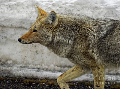 Photograph - Coyote-signed-#5957 by J L Woody Wooden