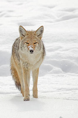 Photograph - Coyote Snowy Nose by Sonya Lang