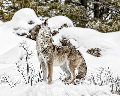 Photograph - Coyote Song by Wes and Dotty Weber