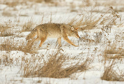 Photograph - Coyote Stalk by Scott Warner