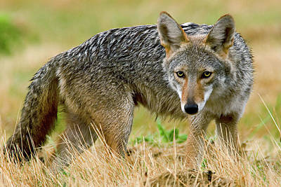 Photograph - Coyote Stare by Craig Strand