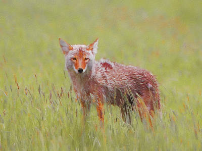 Mixed Media - Coyote Stare by Dan Sproul