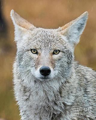 Scifi Portrait Collection - Coyote Stare by Steven Natanson