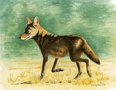 Drawing - Coyote by Timothy Livingston