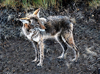 Coyote Art Painting - Coyote Waits by David Lee Thompson