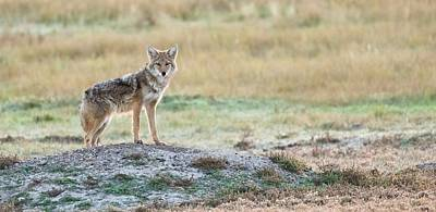 Photograph - Coyotee by Kelly Marquardt