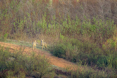 Photograph - Coyotes In Morning Light by Shuwen Wu