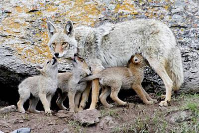 Coyotes Art Print