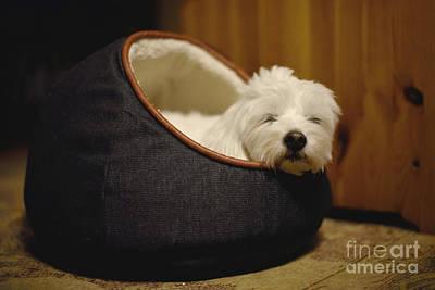 Coton De Tulear Photograph - Cozy Dog by Yoko Maria