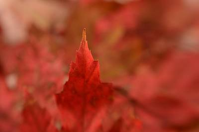 Photograph - Cozying Up To The Autumn Maple 3 by Diane Alexander