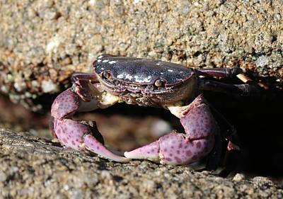 Photograph - Crab 2  by Christy Pooschke