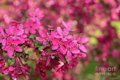 Photograph - Crab Apple Blooms by Jennifer White