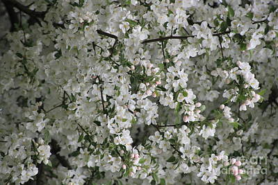 Photograph - Crab Apple Blossoms 4 by Jennifer E Doll