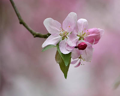 Photograph - Crab Apple Blossoms by Ann Bridges