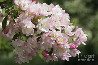 Photograph - Crab Apple Blossoms by Judy Whitton