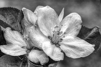 Photograph - Crab Apple In Black And White by JC Findley
