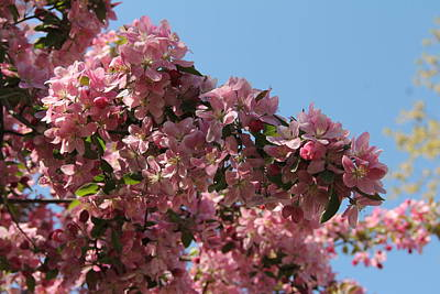 Photograph - Crab Apple In Bloom by Charlene Reinauer