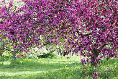 Photograph - Crab Apple Liset Trees In Spring by Tim Gainey