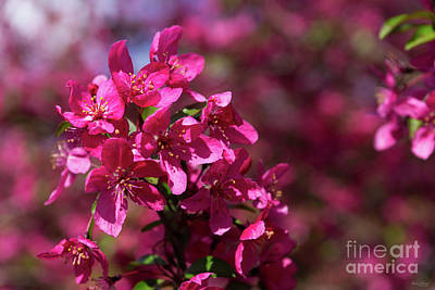 Photograph - Crab Apple Shadows by Jennifer White