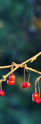 Jerry Sodorff Royalty-Free and Rights-Managed Images - Crab Apples Branches VP 6543 by Jerry Sodorff