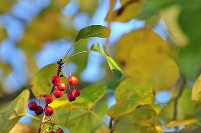 Jerry Sodorff Royalty-Free and Rights-Managed Images - Crab Apples Leaves 6513 by Jerry Sodorff