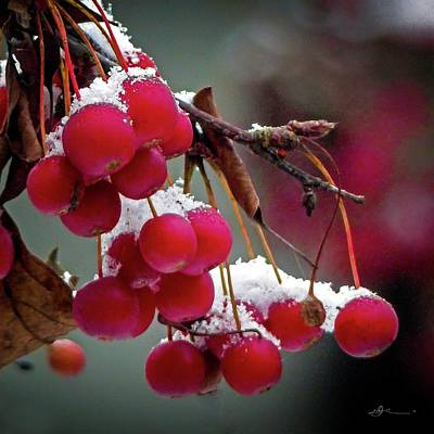 Photograph - Crab Apples Snow by Bill Linn