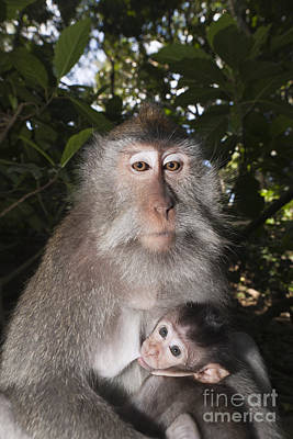 Crab-eating Macaque And Baby Art Print