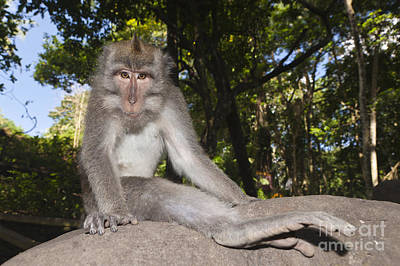 Crab-eating Macaque Art Print by Reinhard Dirscherl